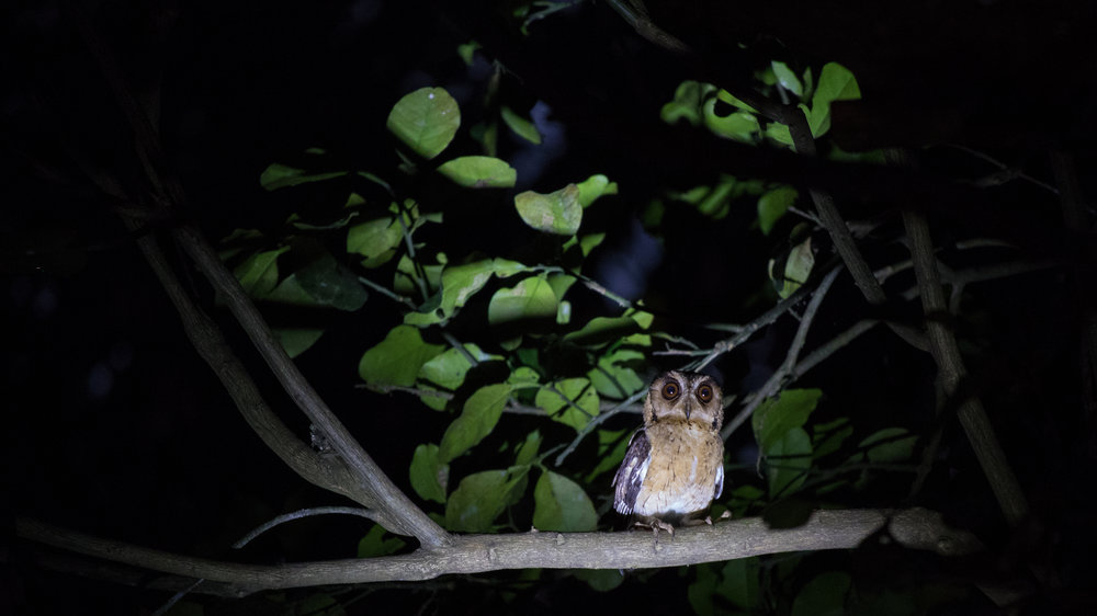 Indian Scops-owl (Otus bakkamoena) in Kerala, India. February 2015. Not baited. Called in once by our guide.