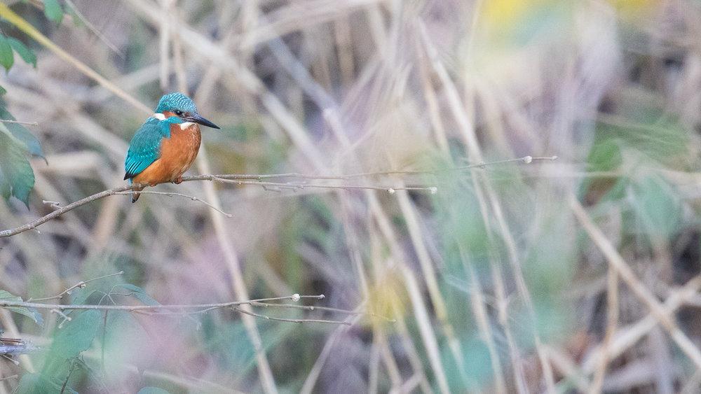 male-common-kingfisher