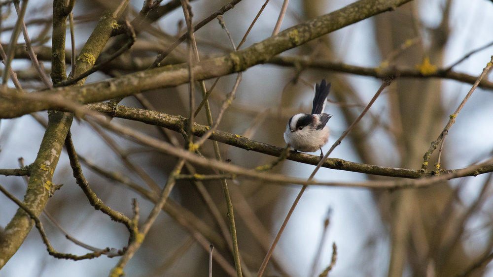 Long-tailed Tit (Aegithalos caudatus) in Canton of Genève, Switzerland. December 2016. Not baited. Not called in.