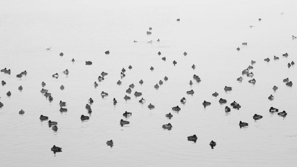 Waterfowl wintering on Lake Geneva.