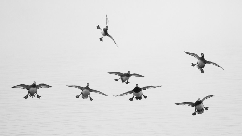 Tufted Ducks (Aythya fuligula) landing on Lake Geneva.