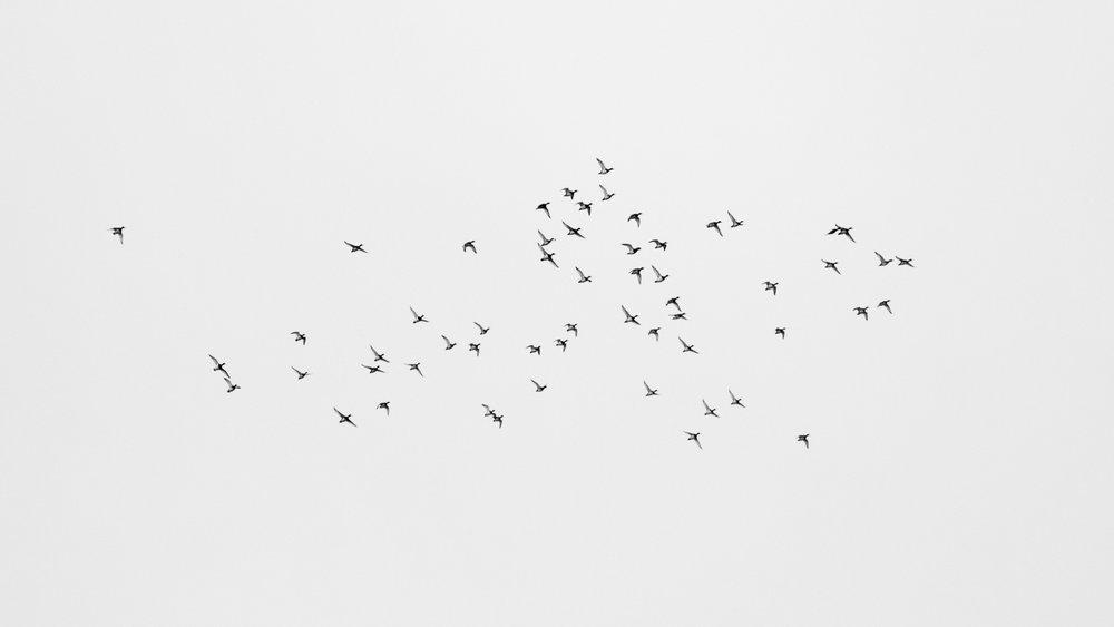 Tufted Ducks (Aythya fuligula) in flight above Lake Geneva.