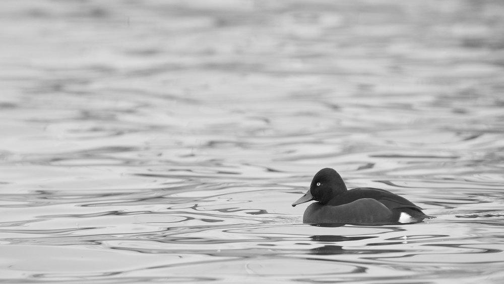 Male Ferruginous Duck (Aythya nyroca) on Lake Geneva.