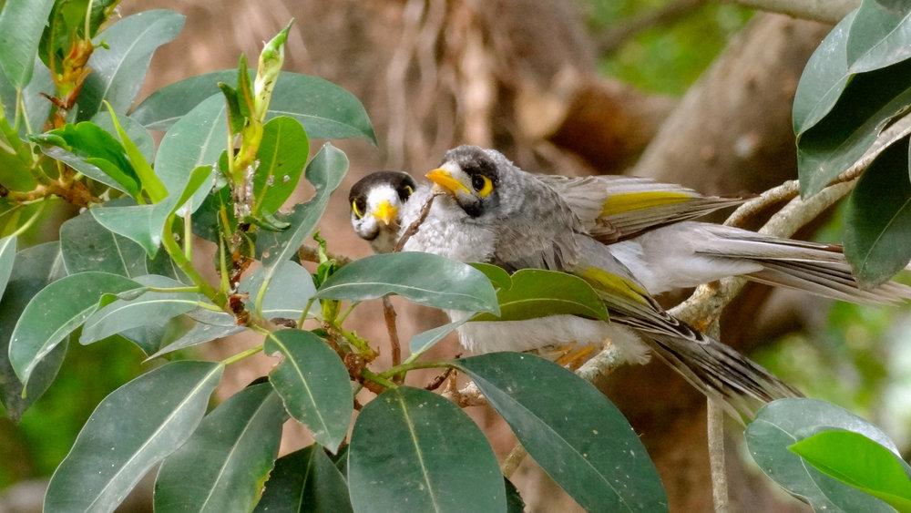 Noisy Miners (Manorina melanocephala) in Australia, September 2012. Not baited. Not called in.