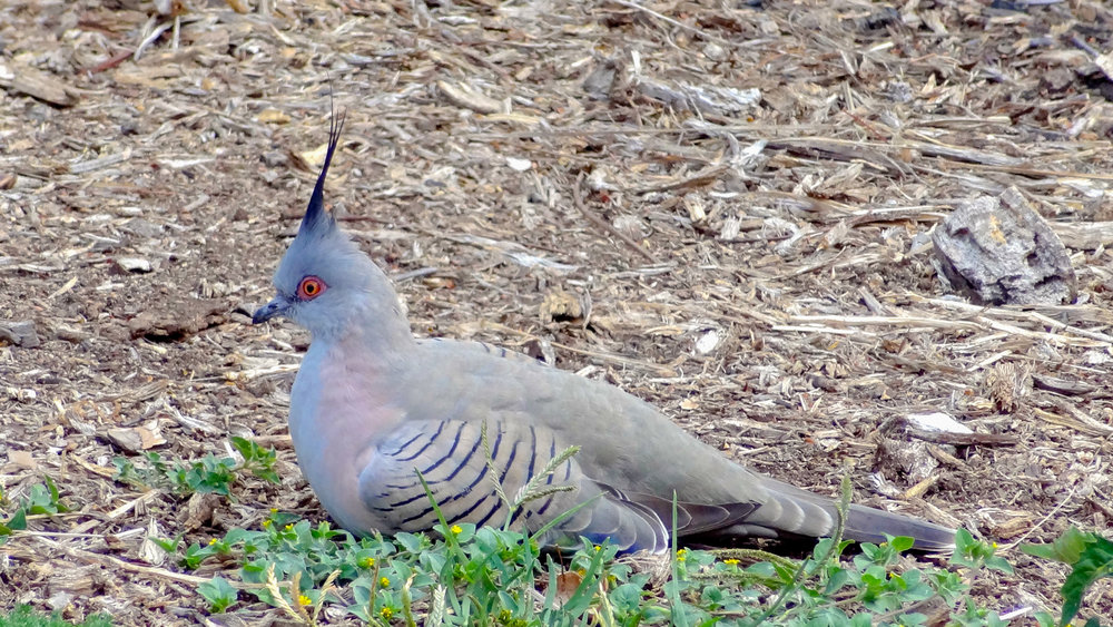 Crested Pigeon (Ocyphaps lophotes) in Australia, September 2012. Not baited. Not called in.
