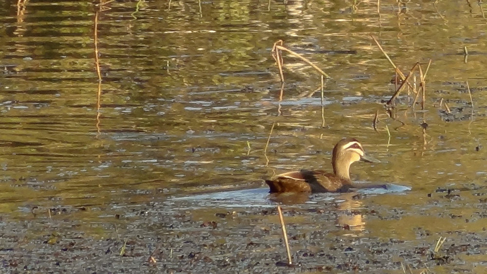 Pacific Black Duck (Anas superciliosa) on Magnetic Island, Australia. October 2012. Not baited. Not called in.