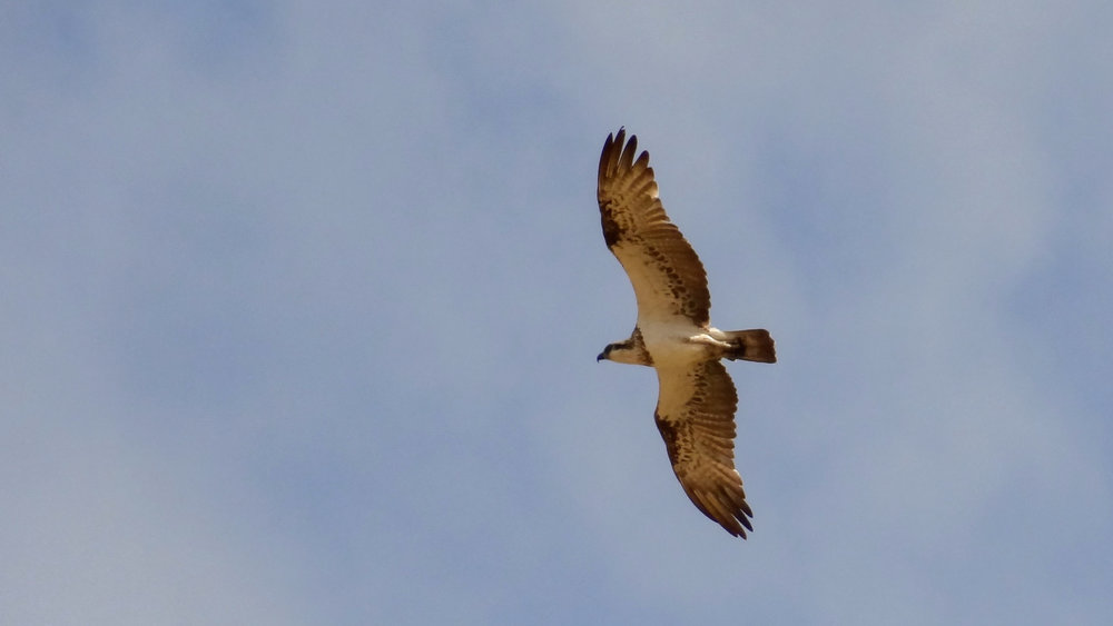 Osprey (Pandion haliaetus) in flight on Magnetic Island, Australia. October 2012. Not baited. Not called in.
