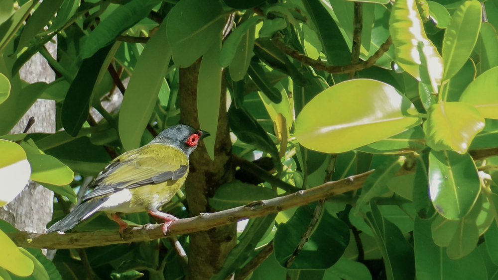 Australasian Figbird (Sphecotheres vieilloti) on Magnetic Island, Australia. October 2012. Not baited. Not called in.