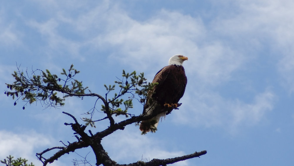Bald Eagle (Haliaeetus leucocephalus) on Orcas Island, United States. June 2012. Not baited. Not called in.