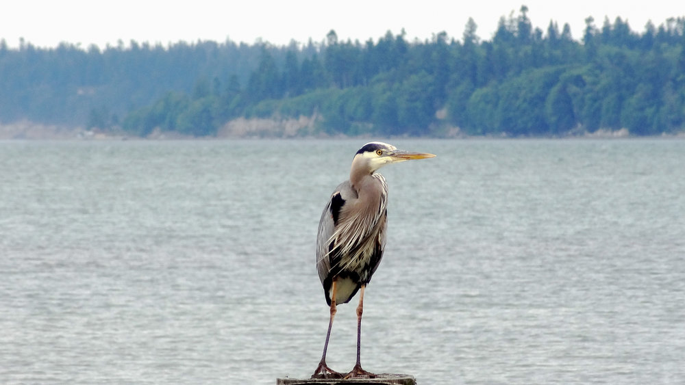 Great Blue Heron (Ardea herodias) in Anacortes, United States. June 2012. Not baited. Not called in.