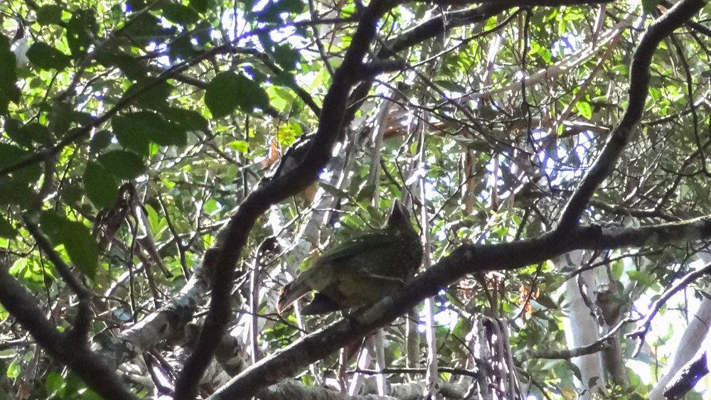 Green Catbird (Ailuroedus crassirostris) in Queensland, Australia. October 2012. Not baited. Not called in.