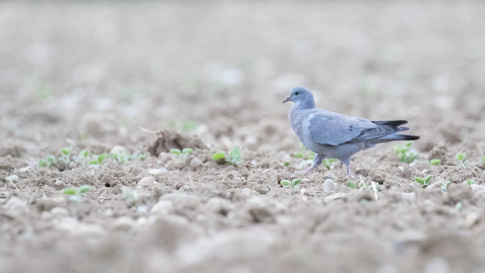 Stock Dove (Columba oenas) at Marais de Sionnet, Switzerland. May 2016. Not baited. Not called in.