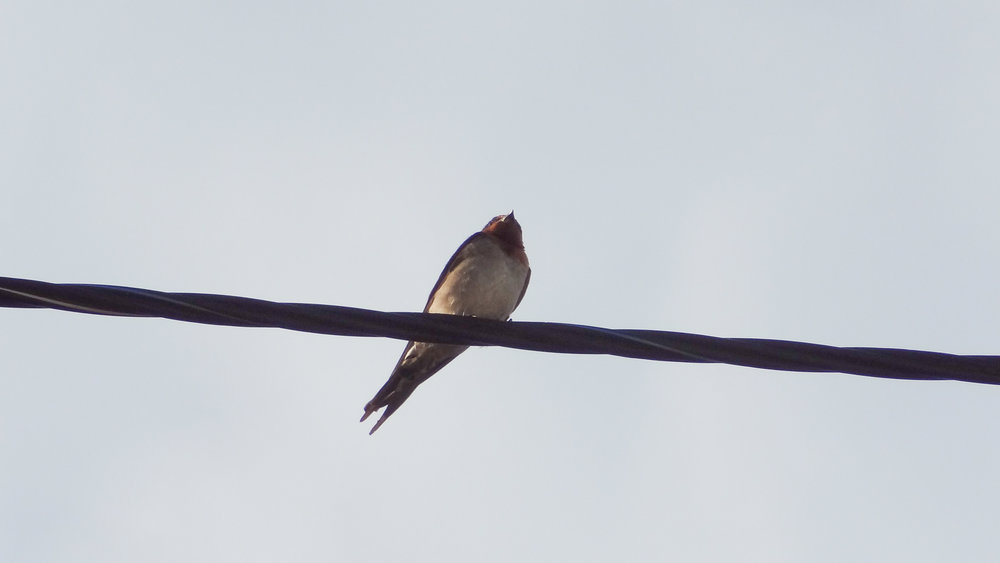 Welcome Swallow (Hirundo neoxena) in Australia. October 2012. Not baited. Not called in.