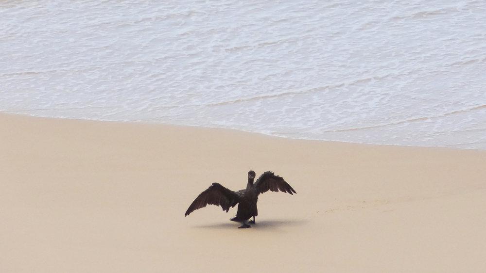 Little Black Cormorant (Phalacrocorax sulcirostris) in Fraser Island, Australia. October 2012. Not baited. Not called in.