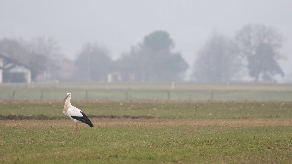 White Stork (Ciconia ciconia) on a field in Avully, Switzerland.