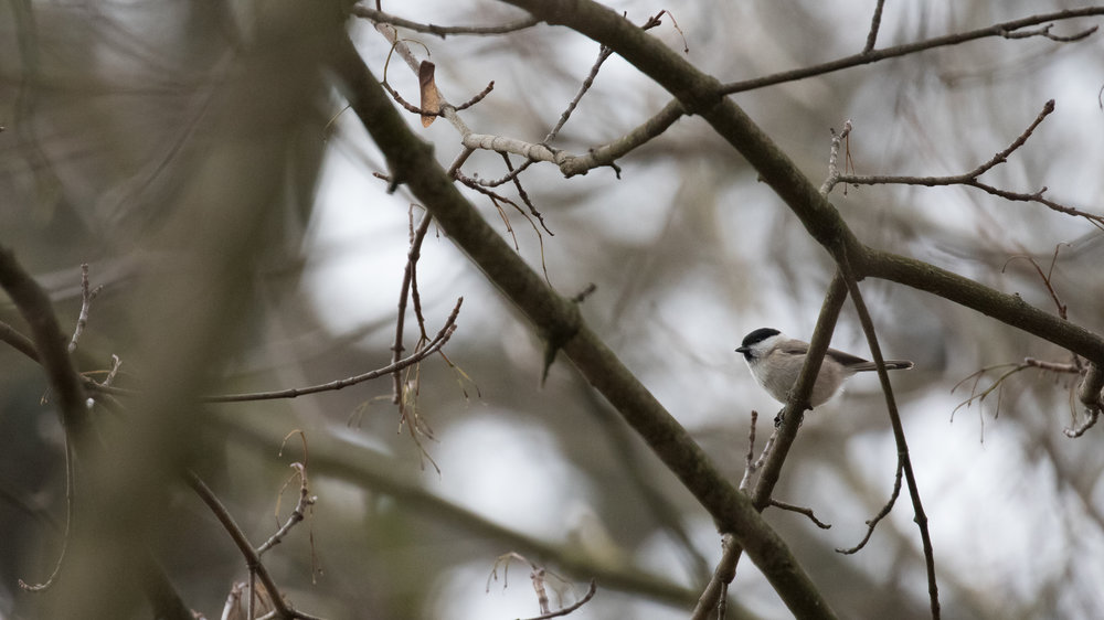 Marsh Tit (Poecile palustris) in Gaillard, France. December 2016. Not baited. Not called in.