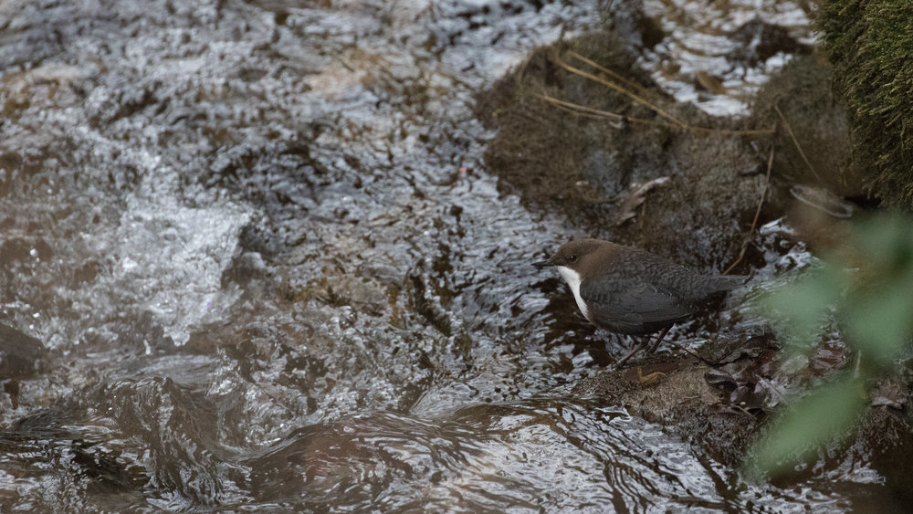 White-throated Dipper (Cinclus cinclus) in Switzerland, December 2016. Not baited. Not called in.