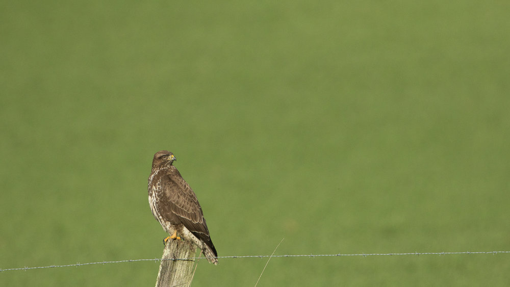 Eurasian Buzzard (Buteo buteo) perched on a post. The white plumage on the chest tells us it is not a Black Kite.