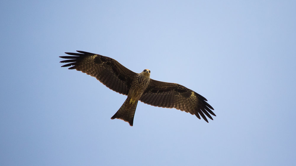 Black Kites have a forked tail.