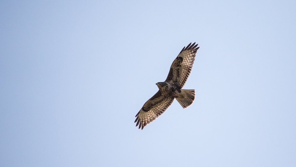 Eurasian Buzzards have a rounded tail.