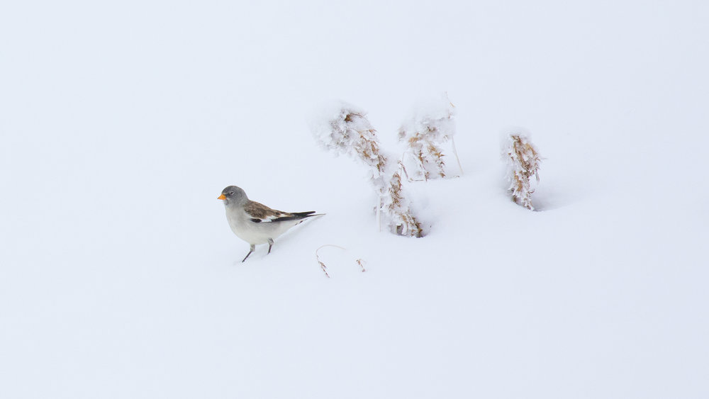 White-winged Snowfinch (Montifringilla nivalis) in Canton of Valais, Switzerland. November 2016. Not baited. Not called in.