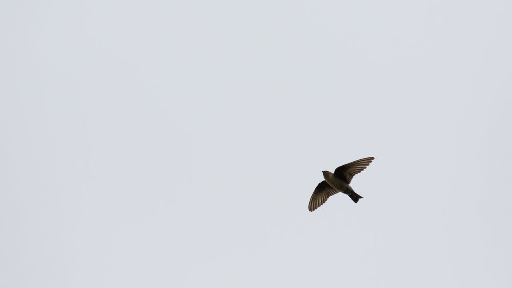 Eurasian Crag Martin (Ptyonoprogne rupestris) in Conches, Switzerland. March 2017. Not baited. Not called in.