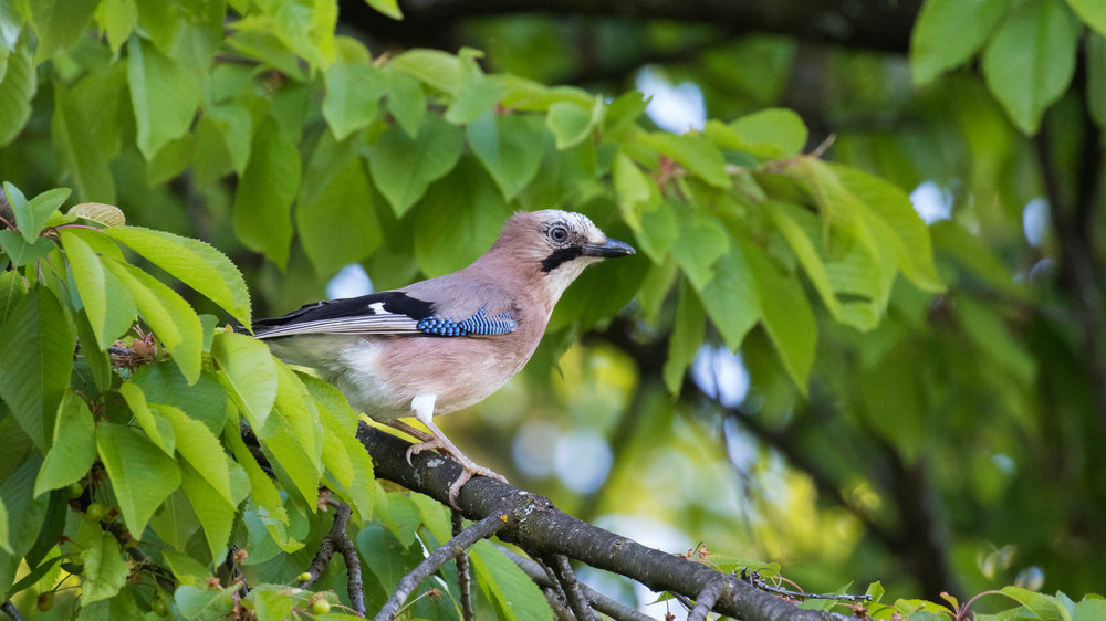 Eurasian Jay (Garrulus glandarius)in Conches, Switzerland. May 2016. Not baited. Not called in.
