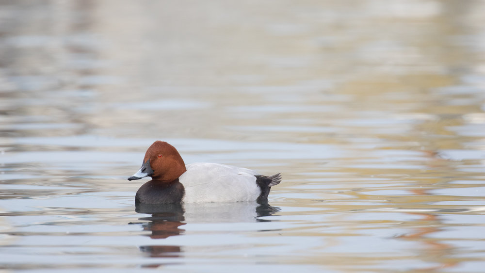 Male Common Pochard (Aythya ferina) in Geneva, Switzerland. December 2016. Not baited. Not called in.