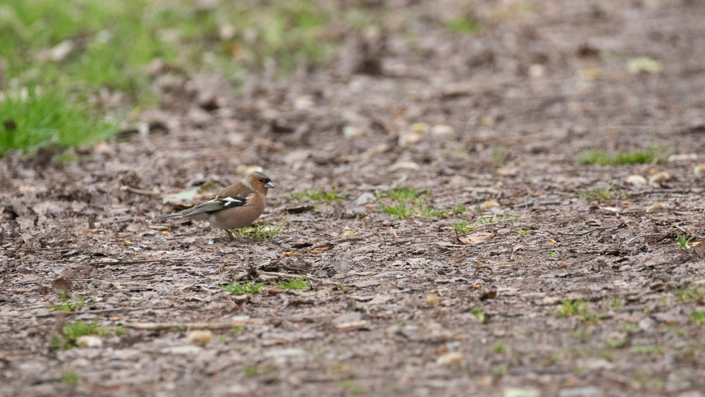 Male Common Chaffinch (Fringilla coelebs) in Veyrier, Switzerland. March 2017. Not baited. Not called in.