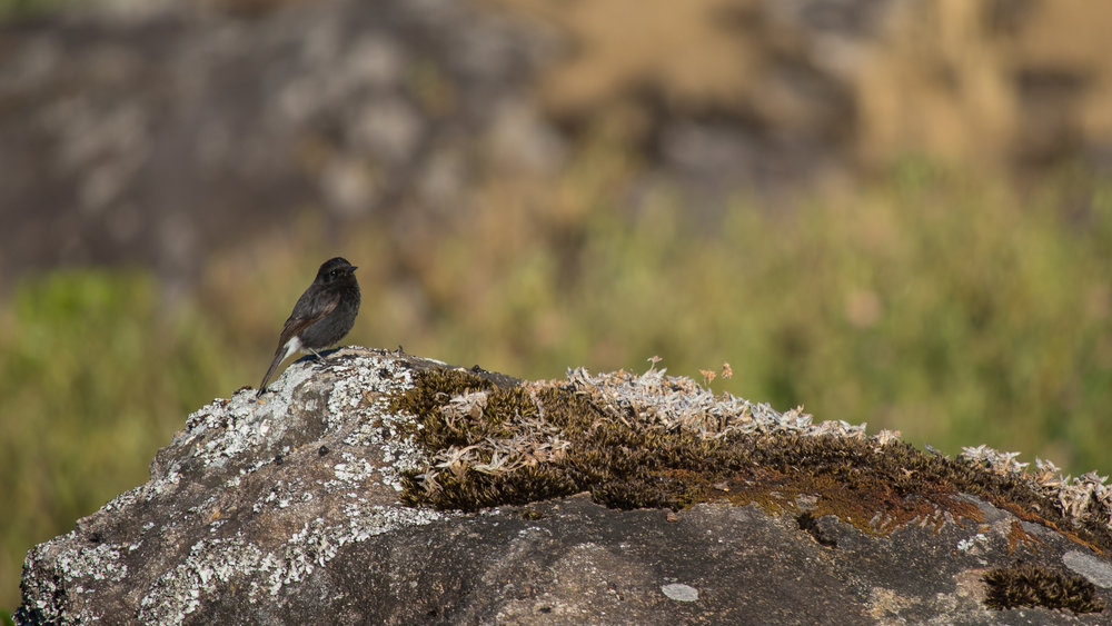 Male Pied Bushchat (Saxicola caprata) in Munnar region, Kerala, India. February 2015. Not baited. Not called in.