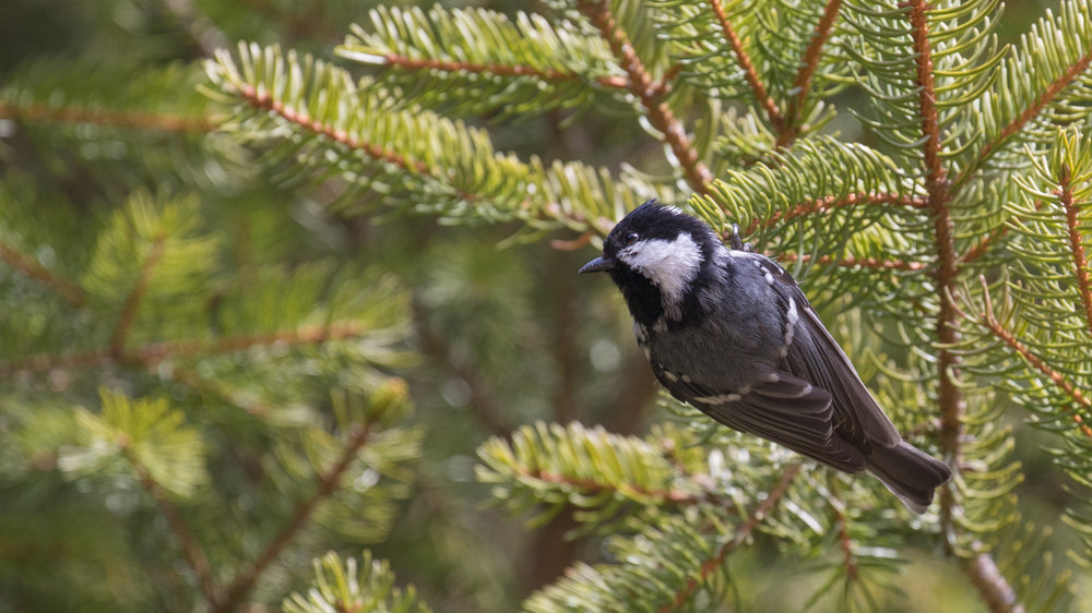 Coal Tit (Periparus ater) in Chamonix area, France. April 2017. Not baited. Not called in.