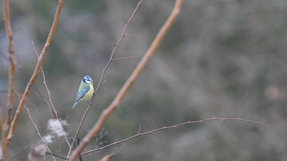 Eurasian Blue Tit (Cyanistes caeruleus) in Canton of Geneva, Switzerland. January 2017. Not baited. Not called in.