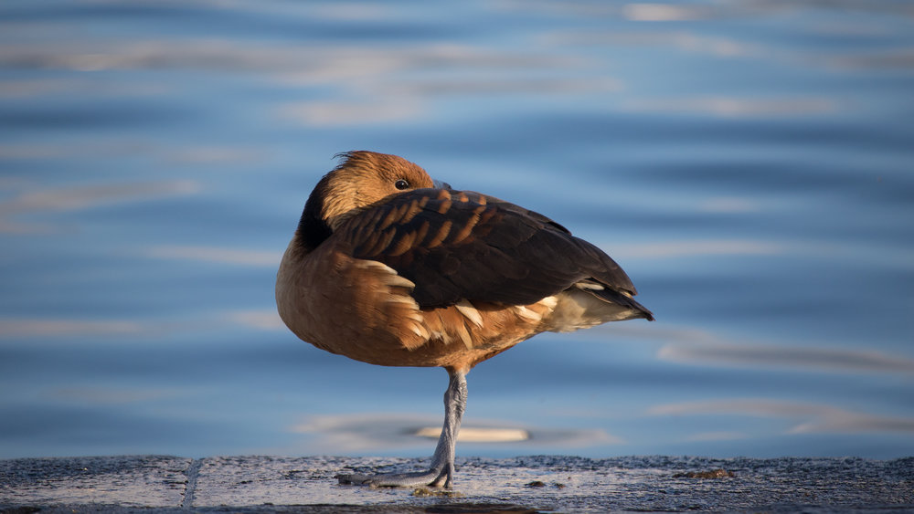 Fulvous Whistling-duck (Dendrocygna bicolor) in Geneva, Switzerland. May 2015. Not baitred. Not called in.