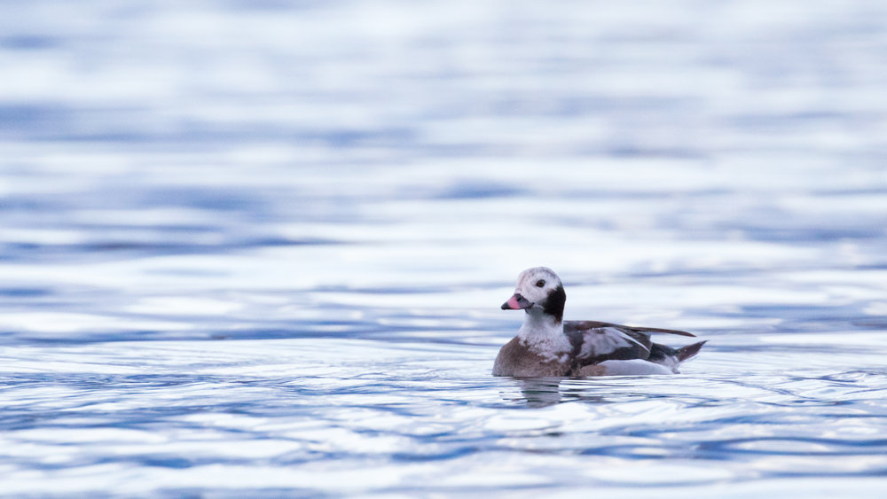 Male Long-tailed Duck (Clangula hyemalis) in Canton of Geneva, Switzerland. February 2017. Not baited. Not called in.