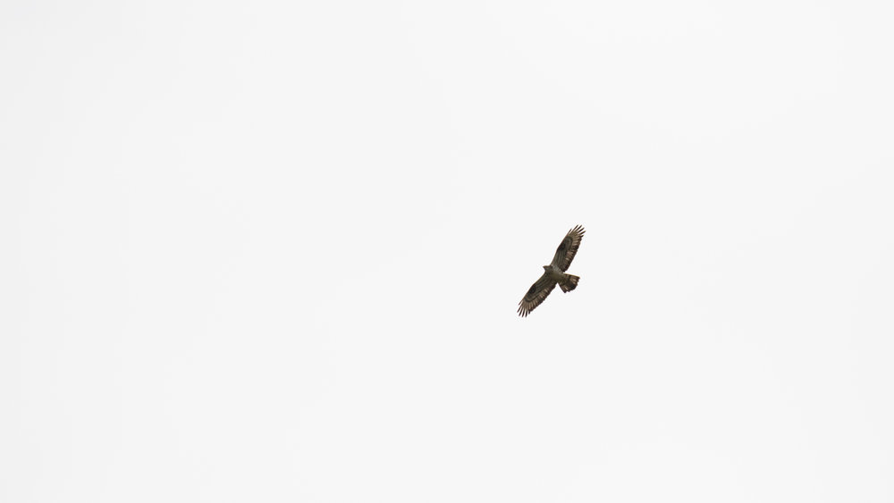 European Honey-buzzard (Pernis apivorus) in Canton of Geneva, Switzerland. May 2017. Not baited. Not called in.