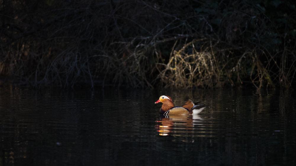 Male Mandarin Duck (Aix galericulata) in Geneva, Switzerland. April 2015. Not baited. Not called in.