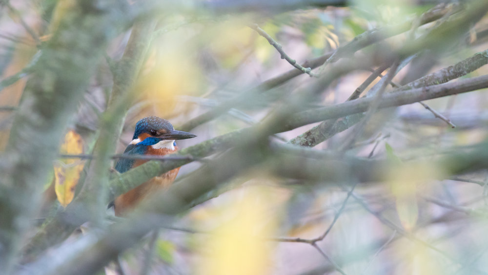 Male Common Kingfisher (Alcedo atthis) in France. November 2015. Not baited. Not called in.