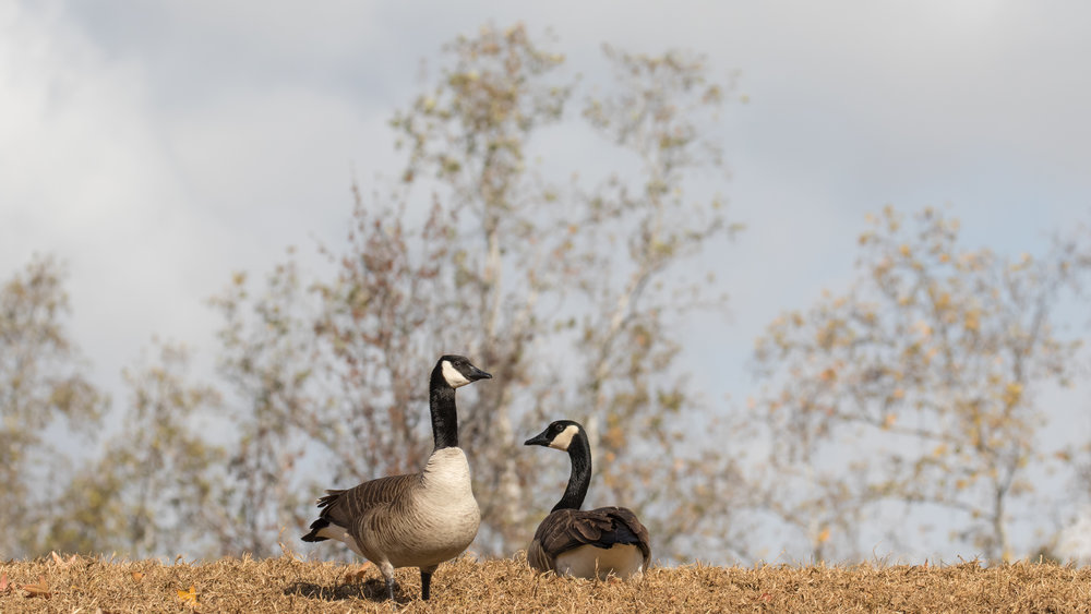 Canada Geese (Branta canadensis) in Laguna Niguel Regional Park, California, United States. December 2015. Not baited. Not called in.