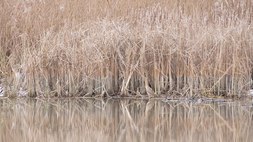 Eurasian Bittern (Botaurus stellaris) in Canton of Geneva, Switzerland. January 2017. Not baited. Not called in.