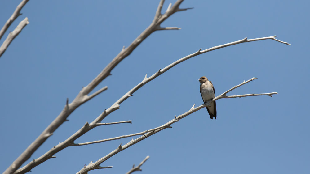 Northern Rough-winged Swallow (Stelgidopteryx serripennis) at Laguna Niguel Regional Park, California. Not baited. Not called in.