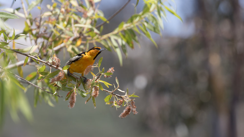 Male Bullock's Oriole (Icterus bullockiorum) at Laguna Niguel Regional Park, California. Not baited. Not called in.