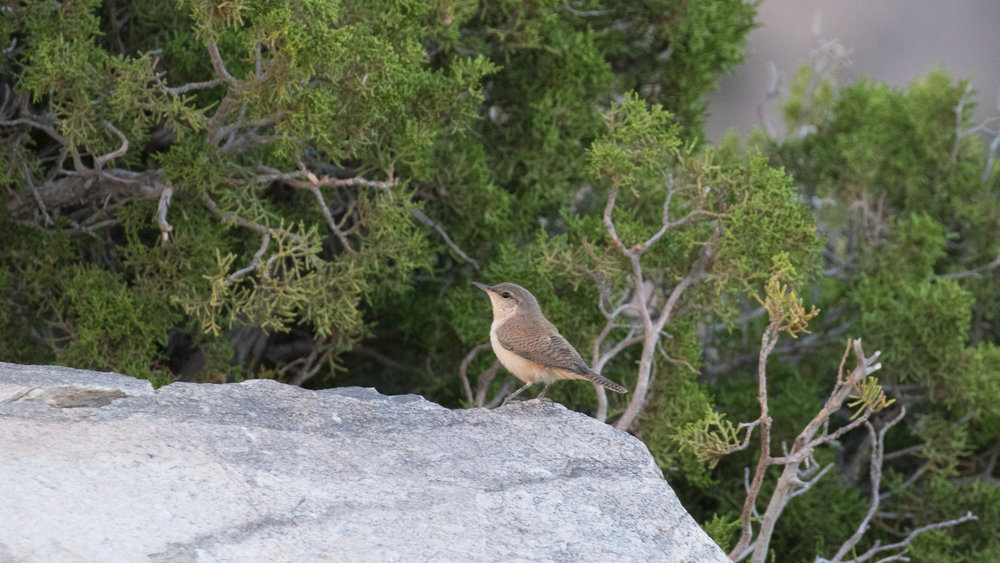 Rock Wren (Salpinctes obsoletus) in Joshua Tree National Park, California. Not baited. Not called in.