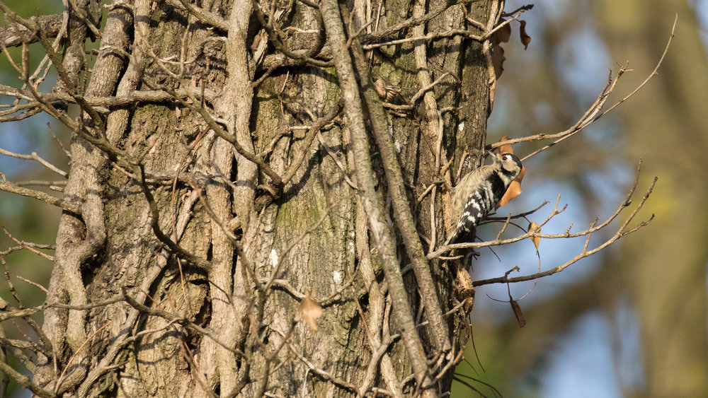 Lesser Spotted Woodpecker (Dryobates minor) at Marais de Sionnet, Canton of Geneva, Switzerland. December 2016. Not baited. Not called in.