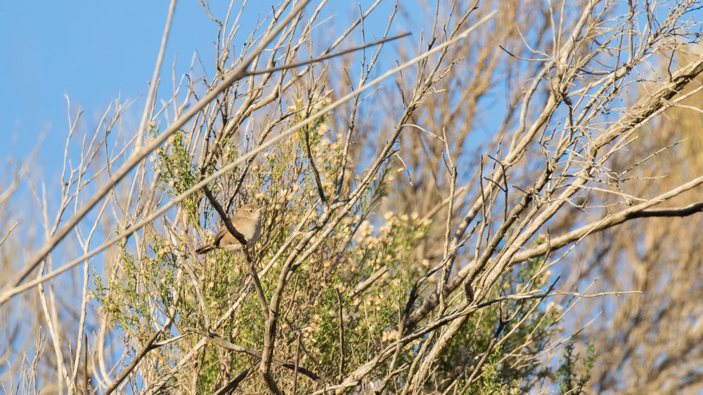 House Wren (Troglodytes aedon) in Laguna Niguel, California. December 2015. Not baited. Not called in.