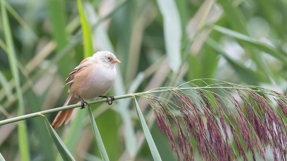 Bearded Reedling (Panurus biarmicus) in Canton of Vaud, Switzerland. August 2017. Not baited. Not called in.