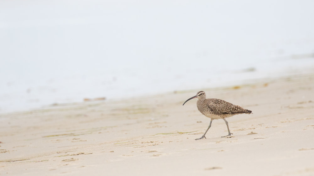 Whimbrel (Numenius phaeopus) at Strands beach, Dana Point, California. August 2016. Not baited. Not called in.