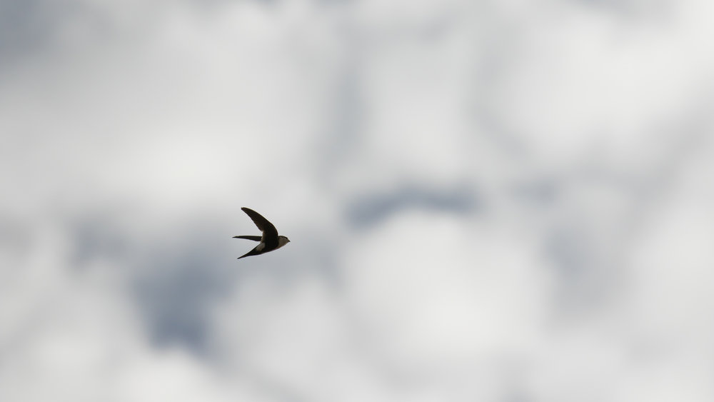 White-throated Swift (Aeronautes saxatalis) in Joshua Tree National Park, United States. Not baited. Not called in.