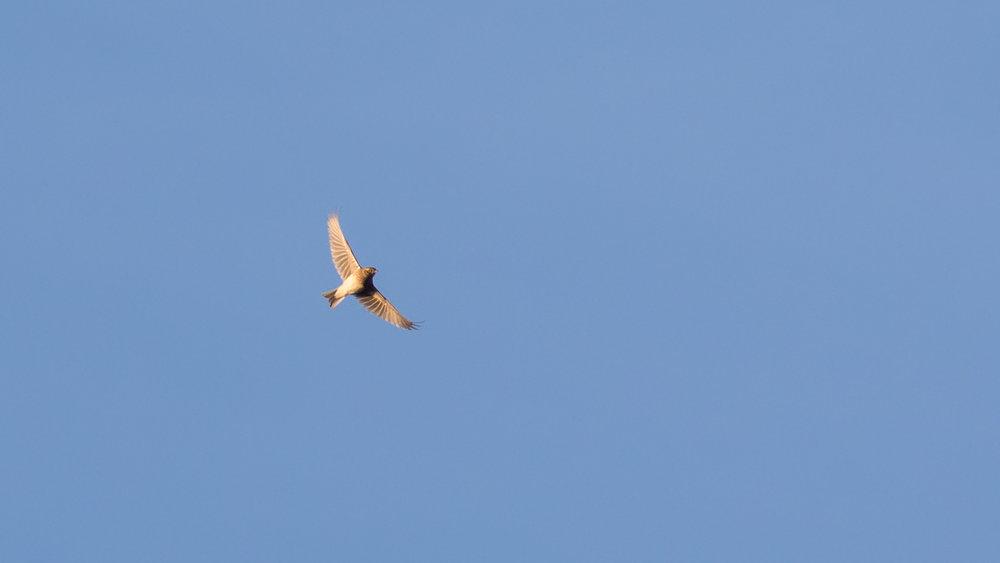 Eurasian Skylark (Alauda arvensis) at Marais de Sionnet, Switzerland. November 2016. Not baited. Not called in.