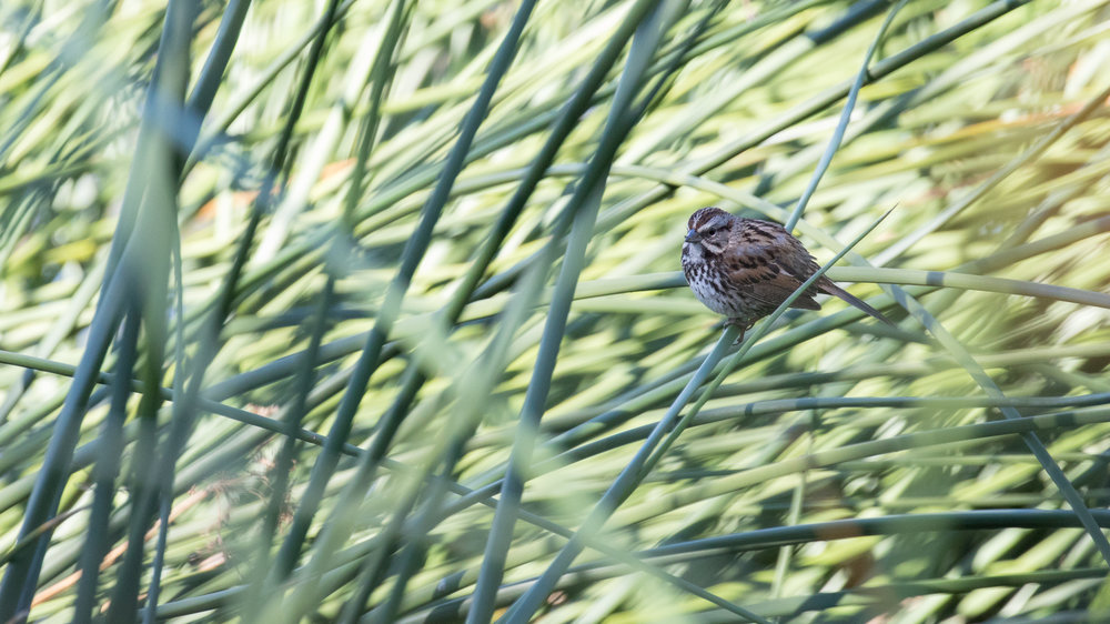 Song Sparrow (Melospiza melodia) at Laguna Niguel Regional Park, California. December 2015. Not baited. Not called in.
