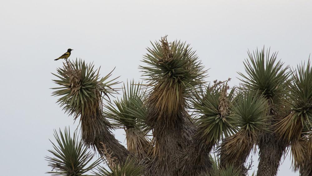 Scott's Oriole (Icterus parisorum) in Joshua Tree National Park, California. Not baited. Not called in.